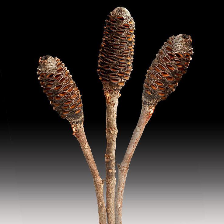 Banksia sticks #premiumgreensaustrali