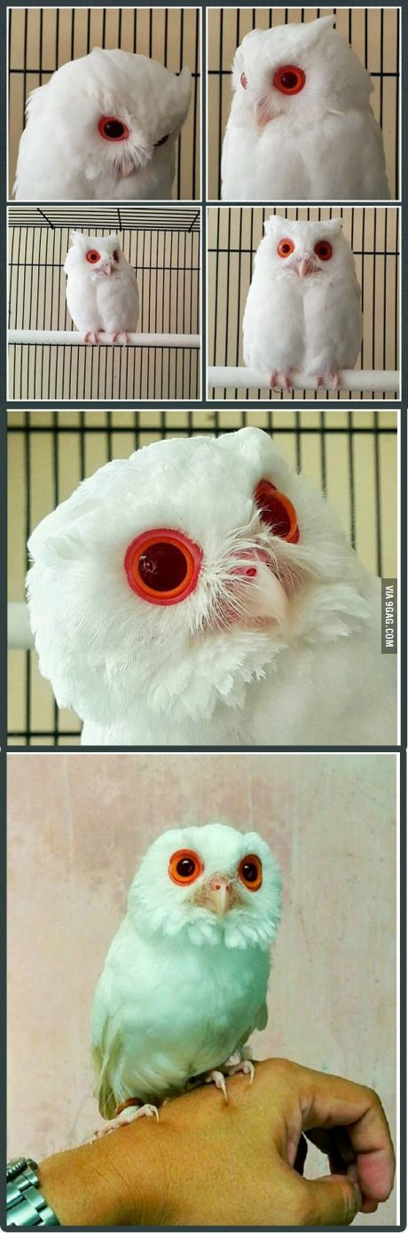 Owl albino with red eyes. It's like one of the owls of gahoole (legend of the guardians)