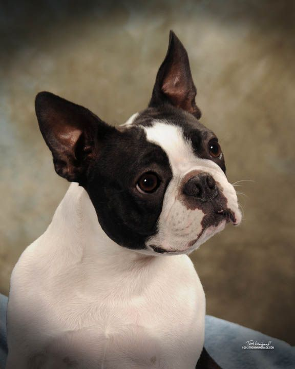boston terrier brindle 25 best ideas about brindle boston terrier on pinterest 7521
