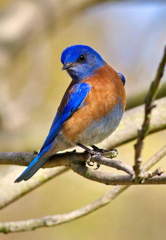 Western Bluebird (Sialia mexicana). A small thrush of western North America and Mexico. photo: Hartmut Walter.