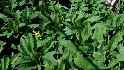 Comfrey plants, ideal for making home made Fertiliser