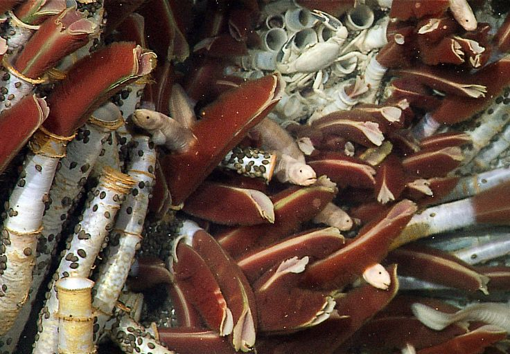 Tube worm picture: fish and limpets on a tube worm colony ...