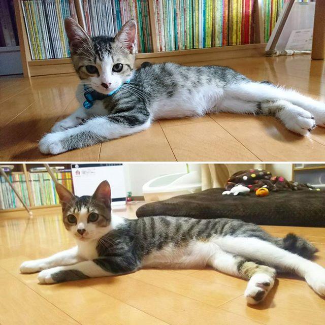 成長しました🐱 #愛猫#九十九#つくも#年齢不詳#猫ばか部 #初めての猫飼い#成長#鍵しっぽ#激ラブ #cat#love#growth#♥️#🐱