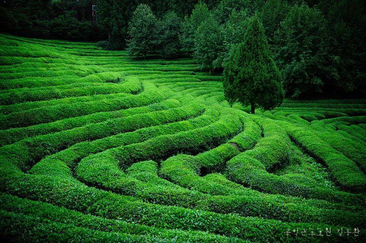 Green tea fields 사본 ~ Photo by Kim Dongwan.