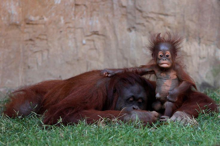 A five-month-old baby female Bornean orangutan (Pongo pygmaeus) sits on her mother Sulli at Bioparc Fuengirola in Fuengirola, near Malaga, Spain, on September 12, 2016.