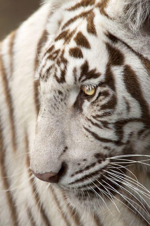 White Tigress - by Isfaaq Caunhye