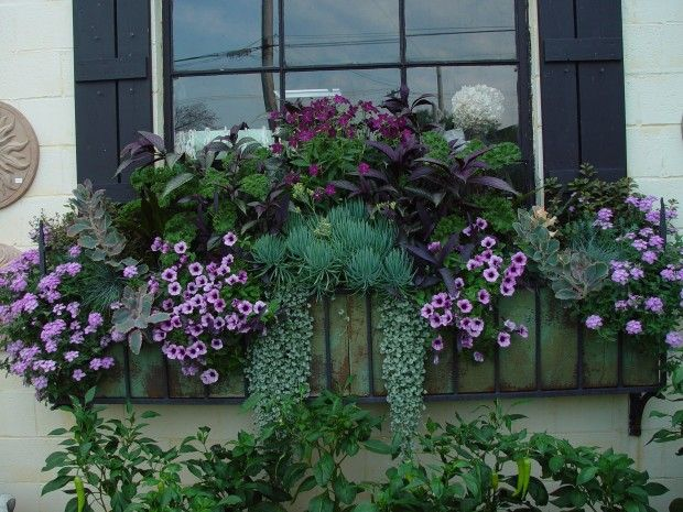 "blue-green and red-violet Persian shield, perfume purple nicotiana, red bor kale, senecio ""blue chalk"", lavender star verbena, silver falls dichondra, petunia"