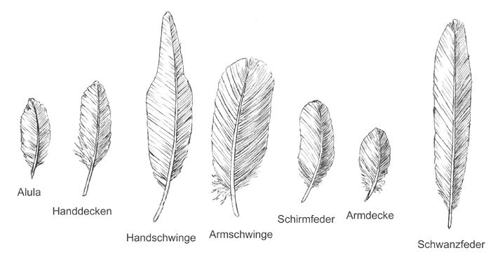Federn zeichnen lernen