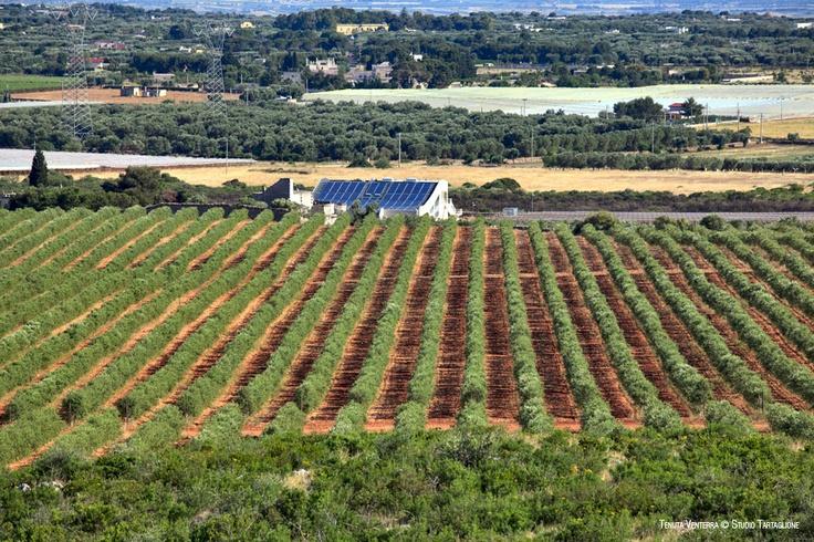 #VENTERRA. #120 #ettari #di #terreno, un #frantoio #moderno e #tecnologico, #filari di #piante di #olivo delle #cultivar #tipiche #salentine