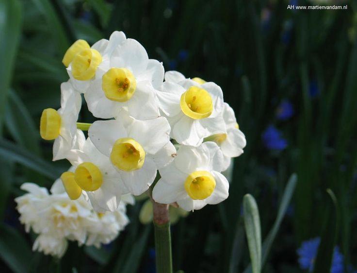 veelbloemige narcis, 1 bloem = boeket.