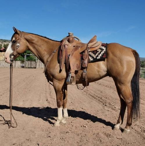 Gentle Red Dun Rope/Ranch Horse Gelding for Sale - For more information click on the image or see ad # 37233 on www.RanchWorldAds.com