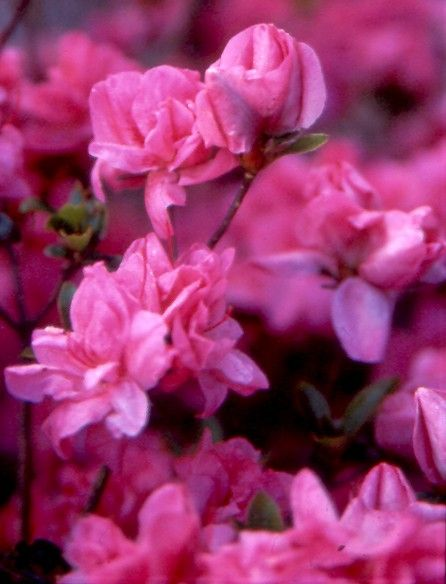 58 best azaleas images on pinterest - Care azaleas keep years ...