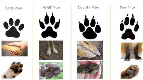 Find the Difference and comparison Between Canidae Family members Dog vs Wolf vs Jackal, Coyote and Fox.  To know the facts about keeping wolves and coyote as a pet.