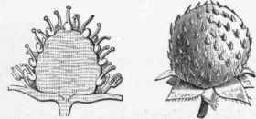 Strawberry   with Section, showing thickened receptacle bearing the true fruits.