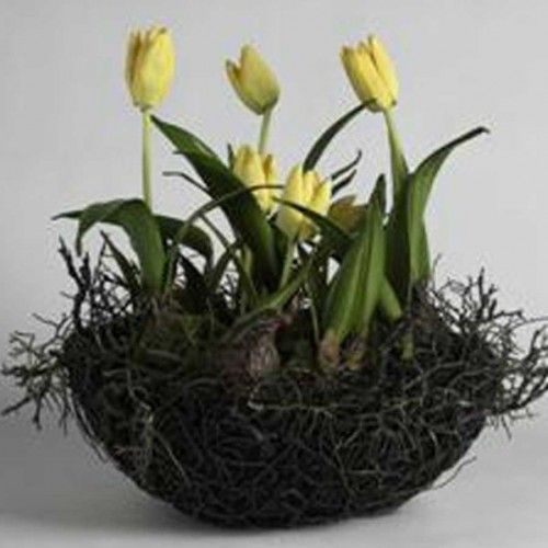 Tulips in a nest