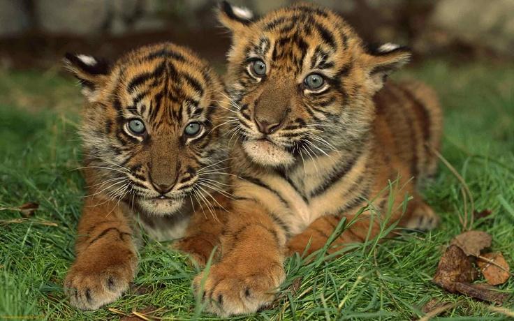 Bengal Tiger   life: bengal tiger, Bengal tiger facts,bengal tigers,the bengal tiger ...