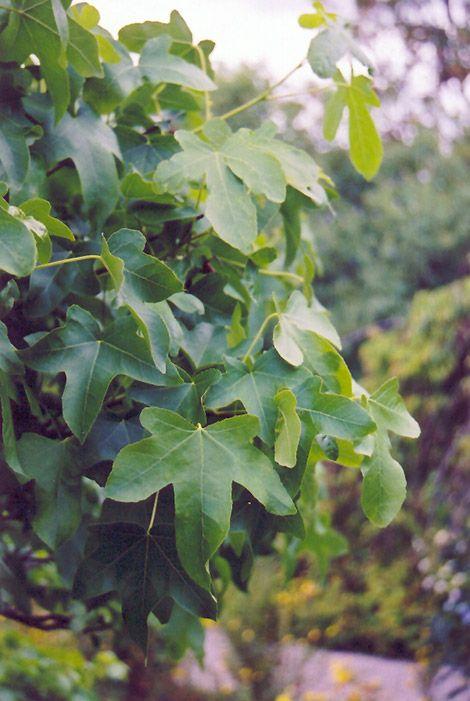 Round Leaf Sweet Gum (Liquidambar styraciflua 'Rotundiloba') at Hicks Nurseries