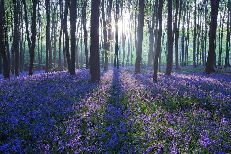 Found this website courtesy of Hansol Kim..thank you!: Black Forest Germany, Forests, Nature, Favorite Place, Beautiful, Purple Haze, Places, Landscape, Photo