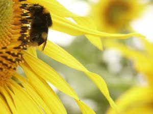 #Apicultura  Situaciones límites en la nutrición de las abejas http://aga.cat/index.php/ca/articles/articles-d-interes/malaties-tractaments/427-situacions-limits-en-la-nutricio-de-les-abelles