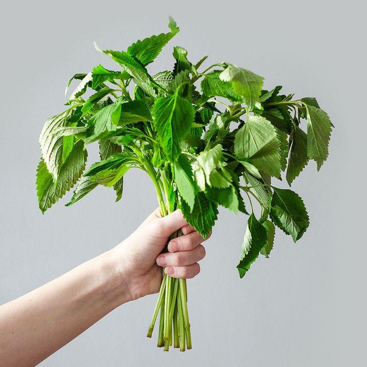 """Klasnatka brvitá (lat. Elsholtzia ciliata) - Asijské bylinky """"ZÁSADNĚ"""" ZDRAVĚ"""