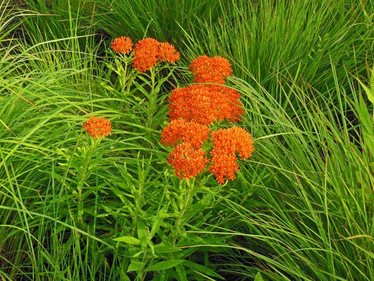 Native Plant Butterfly Weed (Asclepias tuberosa) for the Garden - Shawna Coronado