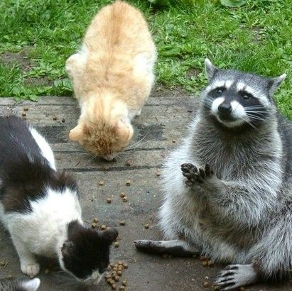 the sims 3 how to get a racoon