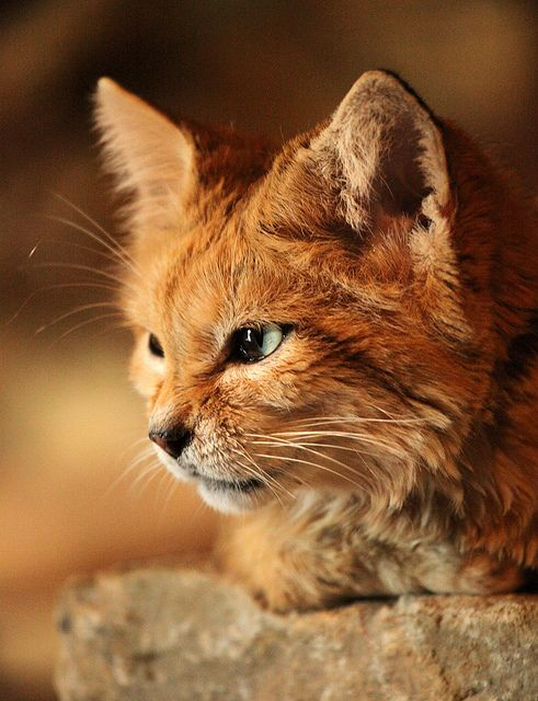 A wild desert feline species called the Sand Cat. Photo by Debs, sometimesong on Flickr