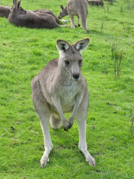 """Quelle est l'origine du nom """"kangourou"""" ? A leur arrivée en Australie, les explorateurs européens demandèrent aux aborigènes locaux comment étaient appelés ces étranges animaux bondissant, les aborigènes répondirent """" kan-ga-roo"""", ce qui signifie """"je ne comprends pas"""", et depuis, ces mammifères portent le nom de cette incompréhension mutuelle. - Carnet de voyage """"Road trip en camping car en Australie"""""""
