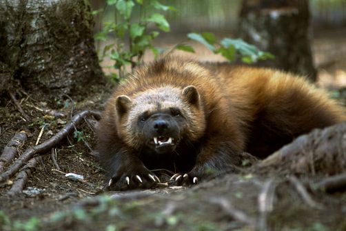 Wolverine, a weasel that believes and acts like a 'pissed off' BEAR.