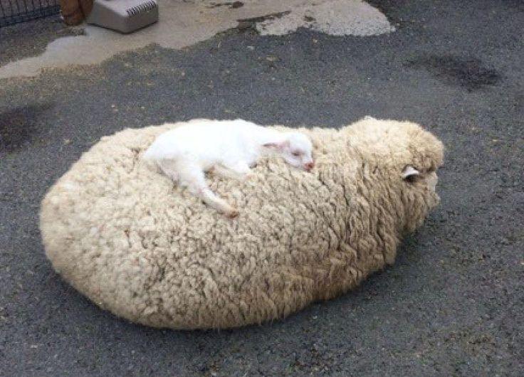 We love our wool and need it for ourselves! Müssen Schafe geschoren werden? Hier die Antwort: NEIN http://www.peta.de/haeufig-gestellte-fragen-3