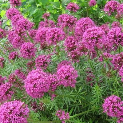 Les 25 meilleures id es concernant fleurs de l 39 ombre sur pinterest plantes d 39 ombre de jardin - Plantes vivaces fleuries toute l annee ...