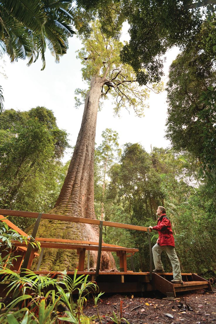 Visit Old Bottlebutt, a huge Red Bloodwood at Burrawan State Forest near Wauchope NSW. Sit on the viewing deck and soak up the atmosphere of this 200+ year old giant!  Photo by SEEN Australia for Forestry Corporation of NSW