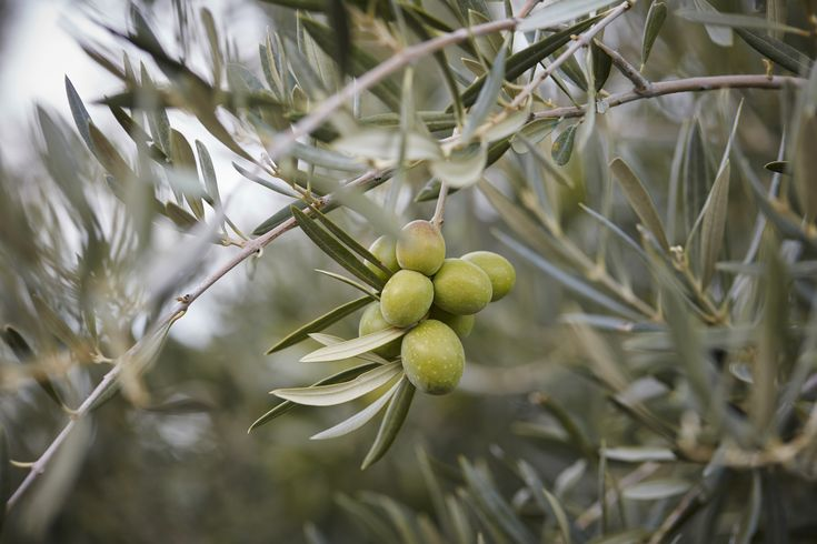 The rains have arrived in Spain and we are well into olive picking season, read all about Spanish olives here... https://tomaandcoe.com/blog/best-olive-oil-world/?utm_content=bufferc01de&utm_medium=social&utm_source=pinterest.com&utm_campaign=buffer #Olives #SpanishOlives #OliveOil #SpanishOliveOil #BestOliveOilintheWorld #ExperiencetheSpainyouneverknew