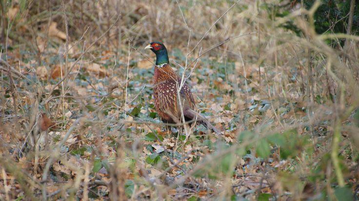 Fazant man (Commont Pheasant male) - Phasianus colchicus