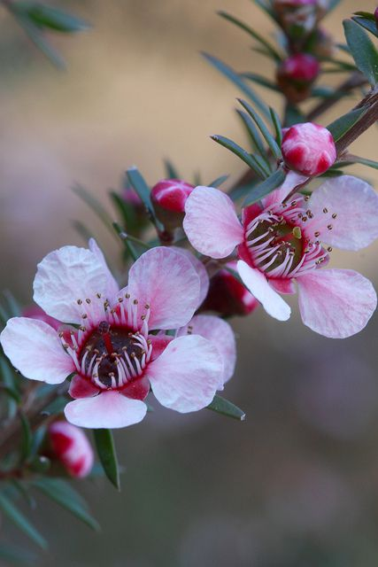 Pink Tea Tree (Leptospermumm scoparium) Native to New Zealand and southeast Australia. A usually compact shrub to 2m high (often less) to 2m wide.