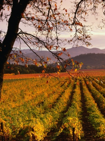 Autumn at Stelling Vineyard, Oakville, Napa Valley, USA Photographic Print by Wes Walker at Art.com