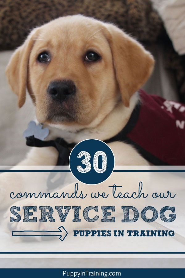 What Commands Do You Teach A Service Dog Animal Rescues