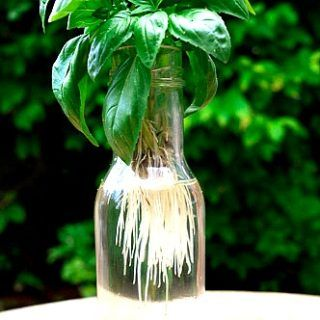 How to make more Basil Plants for free