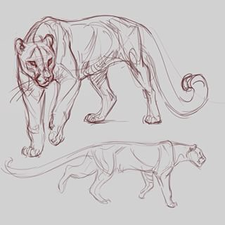 how to draw a mountain lion youtube