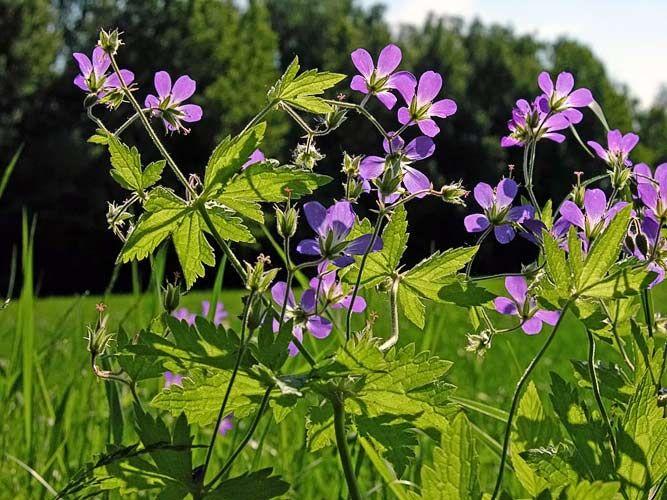 Skogsnäva, Geranium sylvaticum - Blomväxter - NatureGate