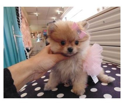 always playing pomeranian puppies is a Pomeranian Puppy For Sale in Jackson Heights NY