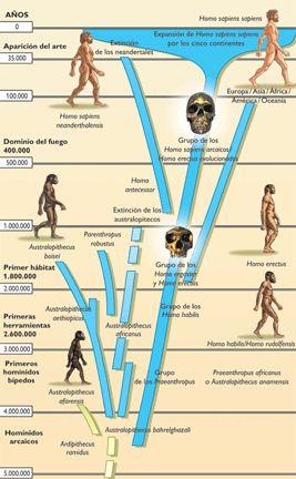 La evolución humana u hominización es el proceso de evolución biológica de la especie humana desde sus ancestros hasta el estado actual.El término humano, en el contexto de su evolución, se refiere a los individuos del género Homo. Sin embargo, los estudios de la evolución humana incluyen otros homininos, como Ardipithecus, Australopithecus, etc.