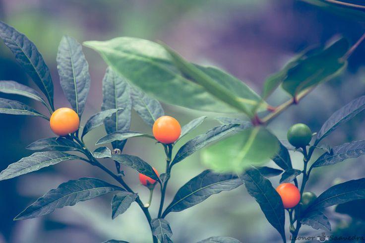 Solanum pseudocapsicum. by Leo Saavedra on 500px
