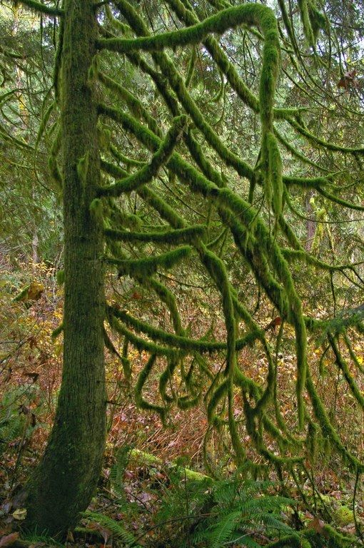 Twisty, mossy cedar at Taylor Mountain. Photo by Kim Brown.