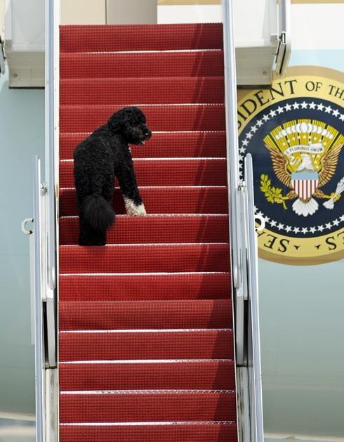 Bo Obama is a portuguese waterdog - Google Image
