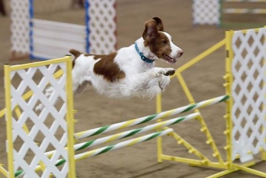 What is dog agility? What are the rules, equipment, levels, and rules of etiquette? This is an all-around, general summary of dog agility for a newbie.