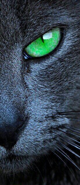 Gato cinza de olho verde claro