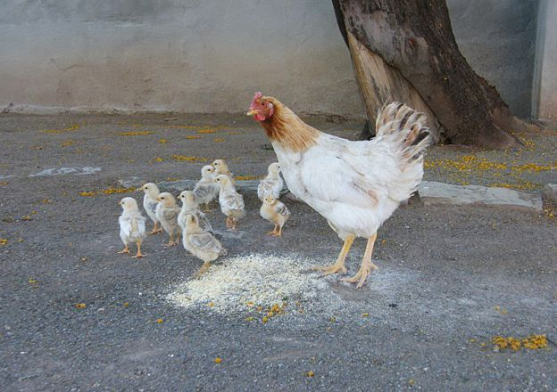Chickens! Stillewaters Self Catering in Richmond in the Karoo.