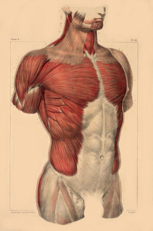 Anatomy muscle reference