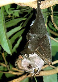 Morcego-cabeça-de-martelo (Hypsignathus monstrosus): É uma bizarra espécie de morcego da família Pteropodidae, encontrada na África Ocidental e Central.